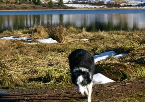 Border Collie Echo runs through a mountain lake.